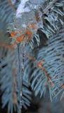 在杉木分支的冰柱 免版税库存照片