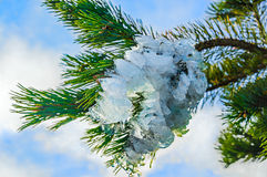 在杉木分支的冰装饰 图库摄影