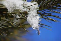 在杉木分支的熔化的雪 库存图片