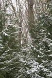 在杉木分支的第一雪 免版税库存图片
