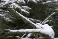 在杉木分支的第一雪 免版税库存照片