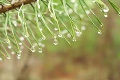 在杉木分支的雨珠 免版税库存图片