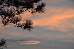在杉木分支背景的日落  免版税库存图片