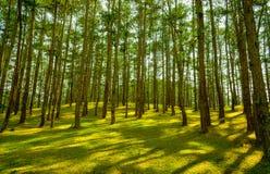 在杉木小山的日出 免版税库存照片