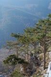 在杉木悬崖之上 免版税库存图片
