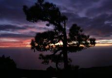 在杉木日落结构树的晚上 免版税库存照片