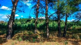 在杉木林木的一个明亮的晴天 在夏天公园 库存图片