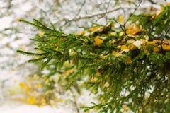 在杉木树困住的秋天黄色叶子 对冬天,秋天背景 绿色冷杉针 在明亮的背景的圣诞树 免版税库存图片