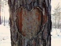 在杉木树干的森林里雕刻了爱的心脏标志 免版税库存照片