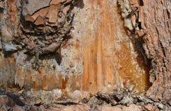 在杉木树干,水平的射击的树脂 库存照片