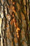 在杉木树的藤 库存照片