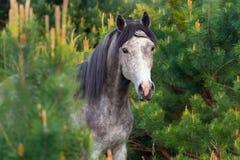 在杉木树的马 免版税库存照片