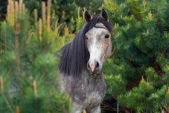 在杉木树的马 免版税图库摄影