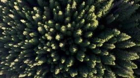 在杉木森林上的鸟瞰图,日出的 股票录像