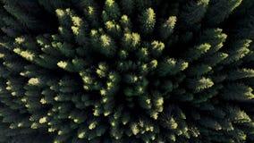 在杉木森林上的鸟瞰图,日出的 股票视频
