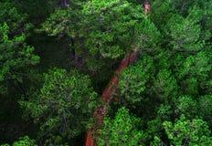 在杉木森林中间的一条路 图库摄影