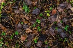 在杉木森林地板的叶子废弃物 免版税库存图片