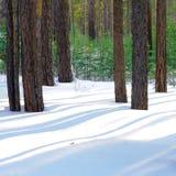 在杉木森林的一个晴朗的冬天早晨 免版税库存图片