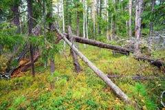 在杉木森林的一块森林沼地 库存照片