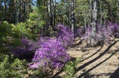 在杉木森林背景的开花的杜鹃花灌木  免版税库存图片