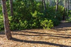 在杉木森林里面的草丛风景在波利科罗海滩旁边 库存照片