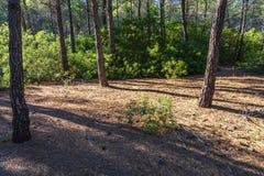 在杉木森林里面的草丛风景在波利科罗海滩旁边 免版税库存照片