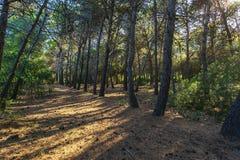 在杉木森林里面的草丛风景在波利科罗海滩旁边 图库摄影