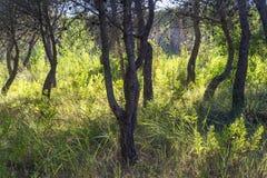 在杉木森林里面的草丛风景在波利科罗海滩旁边 免版税库存图片