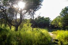 在杉木森林里面的草丛风景在波利科罗海滩旁边 免版税图库摄影