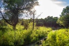 在杉木森林里面的草丛风景在波利科罗海滩旁边 库存图片
