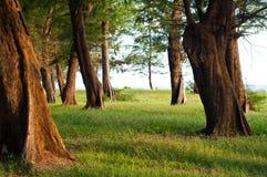 在杉木海运泰国结构树附近的森林 免版税库存照片