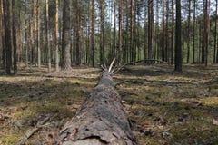 在杉木的一棵下落的树 库存图片