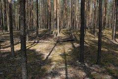 在杉木的一棵下落的树 免版税库存图片