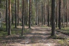 在杉木的一棵下落的树 免版税库存照片