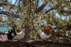 在杉木的分支的两只鸠 库存照片