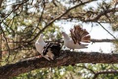 在杉木的分支的两只鸠 图库摄影