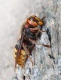 在杉木的大黄蜂 免版税图库摄影