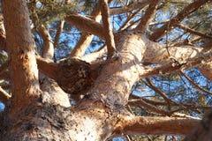 在杉木的成长 免版税图库摄影