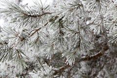 在杉木的树冰 免版税库存照片
