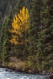 在杉木的桦树 库存照片