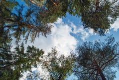 在杉木的蓝天 晴天在杉木森林里 库存照片