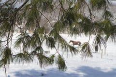在杉木的马 库存照片