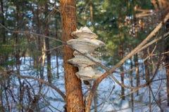 在杉木种植的蘑菇 背景 库存图片
