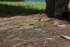在杉木秸杆的蛇怪蜥蜴与明亮的黄色条纹和冠 免版税库存照片
