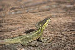 在杉木秸杆的蛇怪蜥蜴与明亮的黄色条纹和冠 免版税库存图片