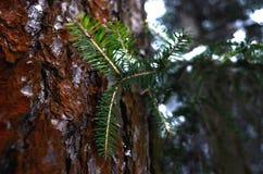 在杉木背景的云杉的分支  库存图片