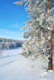 在杉木路冬天附近的森林横向 库存照片