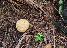 在杉木针中的一个共同的马勃菌蘑菇 免版税库存照片