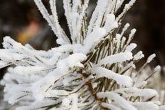 在杉木针的雪 免版税图库摄影