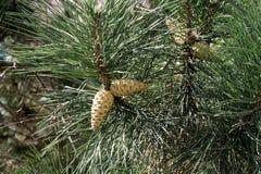 在杉木锥体树的锥体 斯洛伐克 库存照片
